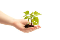 Female hand holding a small tree. Over white Royalty Free Stock Photo