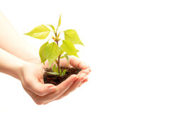 Female hand holding a small tree. Over white Stock Image