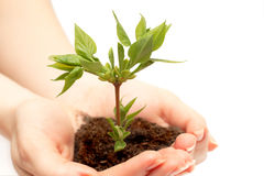 Female hand holding a small tree. Over white Stock Images