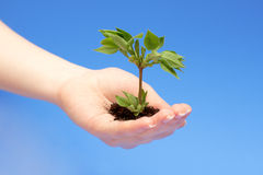 Female hand holding a small tree. Over blue Royalty Free Stock Images