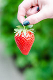 Female hand holding the strawberry Royalty Free Stock Photos