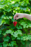 Female hand holding the strawberry Royalty Free Stock Image