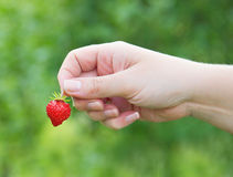 Female hand holding a strawberry Royalty Free Stock Image