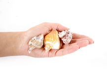 Female hand holding three shells Stock Photography