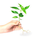 Female hand holding a tree. On white Royalty Free Stock Photo
