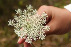 Female hand holding a white Queen Anne`s Lace flower royalty free stock image