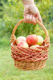 Female hand is holding a wicker basket with fresh ripe apples in. Green natural background. Shallow depth of field. Focus on basket with apples royalty free stock photos