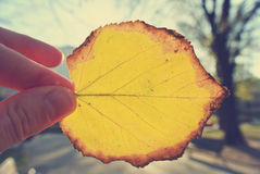 Female hand holding a yellow, golden leaf against the sun; retro Royalty Free Stock Images