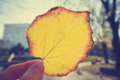 Female hand holding a yellow, golden leaf against the sun; retro Royalty Free Stock Photo