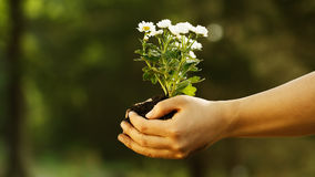 Female hand holding a young plant. Female hand holding small white flowers with her both hands Stock Photography