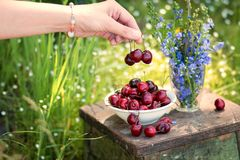 The female hand  holds the delicious cherry berrys and a plate of sweet cherry and a bouquet of lilac colors on a background royalty free stock images