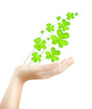 Female hand holds fresh clover plant Stock Image