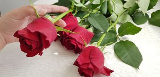 Female hand holds one flower from bouquet of five red roses stock photo