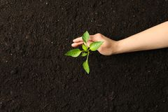 Female hand hugs a green sprout in black soil, top view and space for text. Environmental protection. Agriculture royalty free stock images