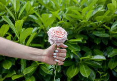 Female hand keeps flower rose Royalty Free Stock Image