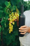 Female hand, middle-aged, holding a black bottle of wine and grapes on the background of green leaves of grapes. vine stock image