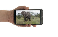 Female hand with mobile phone elephant Royalty Free Stock Photo
