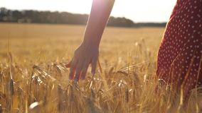 Female hand moving over ripe wheat growing on the meadow with sunlight at background. Young woman walking through the stock video