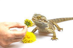 Female hand is offering a dandelion to Agama Stock Photo
