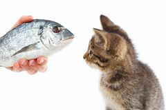 Female hand offers a cute kitten a dorado fish on white background Stock Photography