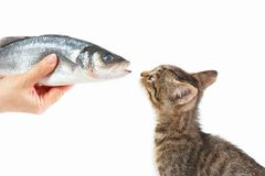 Female hand offers a small kitten a sea bass fish on white background Royalty Free Stock Images