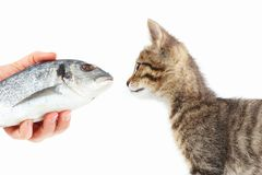 Female hand offers a striped kitten a dorado fish on white background Royalty Free Stock Image