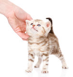 Female hand patting cute kitten.  on white background.  Royalty Free Stock Images