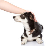 Female hand patting dog head. isolated on white ba Stock Photos