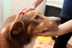 Female hand patting his pet dog in the kitchen Royalty Free Stock Photos