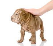Female hand patting sharpei puppy dog. Isolated on white background Royalty Free Stock Photography