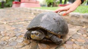 Female Hand Petting Big Wild Old Turtle in Park. 4K. Female Hand Petting Big Wild Turtle in Park. 4K stock footage