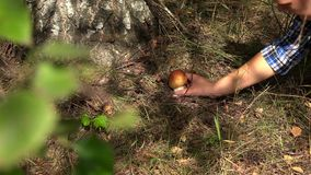 Female hand pick boletus mushroom growing under birch tree. Closeup shot. 4K stock video footage
