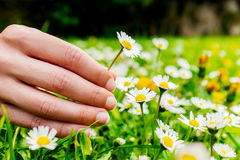Female hand picking flowers. Royalty Free Stock Photos