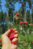 Female hand, picking wild raspberries in the wood Stock Photography