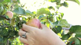 A female hand picks a ripe green apple. Harvesting. Summer and fall. Leaves of a tree in the garden.  stock video footage