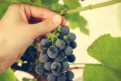 A female hand picks up a blue bunch of grapes. Stock Images