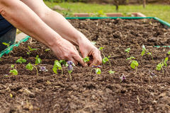 Female hand planting seedlings of Basil Royalty Free Stock Images
