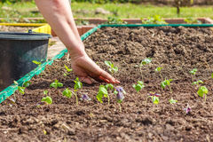 Female hand planting seedlings of Basil Stock Image