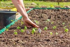 Female hand planting seedlings of Basil Stock Image