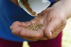 Female hand planting white bean seeds in soil, closeup.  royalty free stock photos