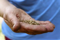 Female hand planting white bean seeds in soil, closeup.  stock photography