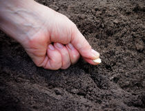 Female hand planting  zucchini seed in soil. Selective focus. Female hand planting  white zucchini seed in soil. Selective focus Royalty Free Stock Photos