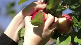 A female hand pluck a red apple from an apple tree branch. Blue sky. Slow motion stock video