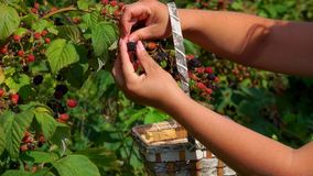 Female hand plucking ripe blackberry in a basket. Female hand plucking juicy ripe blackberry from a bush branches in a basket of birch bark Close-up stock video footage