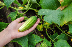 Female hand plucks a ripe cucumber from garden bed on rainy day Stock Photography