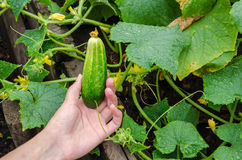 Female hand plucks a ripe cucumber from garden bed on rainy day Stock Image