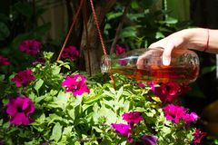 Female hand pours petunias in a pot with fertilizer prepared at home. Organic liquid fertilizer. Nutrition of indoor. Plants. Woman watering plant with watering stock photos
