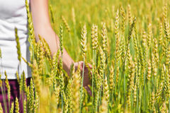 Female hand and ripping wheat ears Stock Image