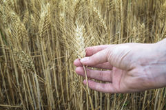 Female hand in rye field, farmer examining plants, agricultural concept. Royalty Free Stock Photo