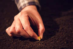 Female hand seeding corn in agricultural arable field soil Royalty Free Stock Photo